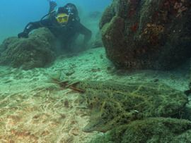 Dive with angel shark in Gran Canaria