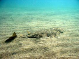 angel shark Canary Islands