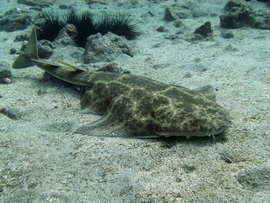 Angelshark on the suface in Gran Canaria