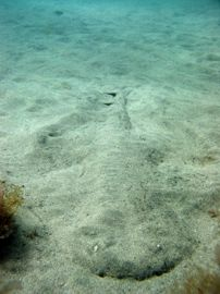 In Gran Canaria diving centres often find the critically endangered angel shark