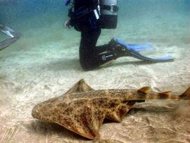 Angelote nadando en la reserva marina del Cabrón
