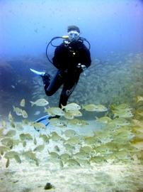 A diver swims into the fish-ball of Roncadores, or bastard grunts