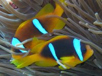 Can you find Nemo? This pair were found in the Red Sea