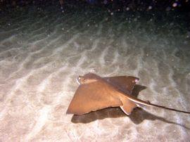 Ein Nachttauchgang im Arinaga Meeres-Reservat kann Stachelrochen, Engelhaie und vieles mehr mit sich bringen.