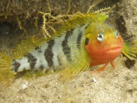 The Hairy Blenny (Labrisomus muchipinnis)shows its mating colours in Autumn