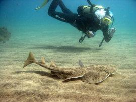 Get close to the angel shark (squatina squatina)