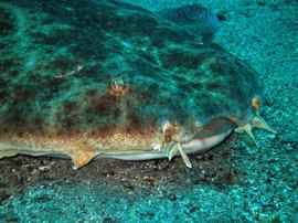 Angel sharks in Gran Canaria do not pose a threat to divers