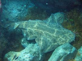 Camouflage pattern on an angel shark in gran canaria