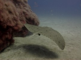 Butterfly Rays are commonly found in the Canaries in winter