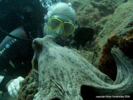 Get close to this octopus (Octopus vulgaris) when you dive here