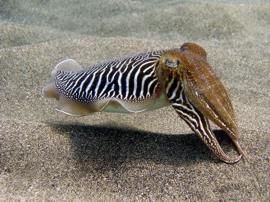 On your PADI Open Water Course meet unusual species such as the cuttlefish