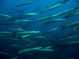 Dive alongside a shoal of Barracuda in the Canary Islands