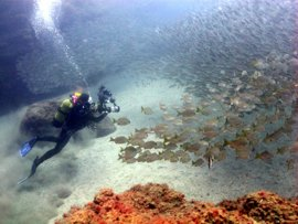 Dive in the Canaries and big shoals of roncadors are common
