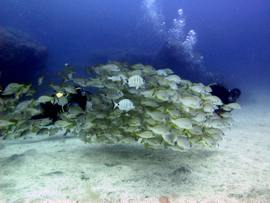 Gran Canaria diving - The school of grunts (Pomadasys incisus) is always a majestic sight