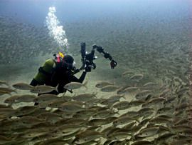 This shoal of grunts is one of the highlights of the El Cabrón Marine reserve in Gran canaria