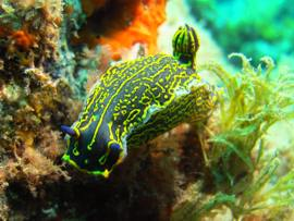 The nudibranch is a strikingly beautiful creature, up to 10cm across