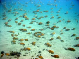 Atlantic Damselfish and Bream dive in Gran Canaria
