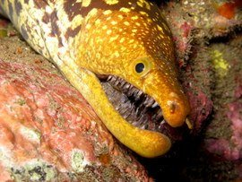 The tiger moray (Enchelcore anatina) is one of four types seen in Canarian waters